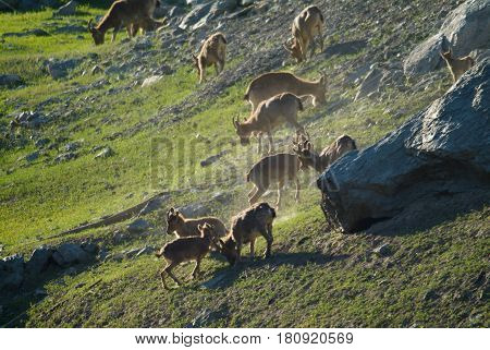 A family of mountain goats on a stone field