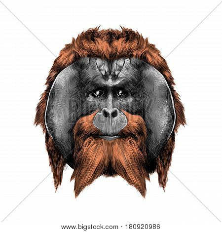 head hairy orangutan symmetry graphics sketch vector color illustration