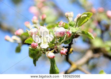 Cherry blossom. Spring blossom background. Blossom tree. Summer print. Spring print. Cherry flowers. Cherry tree branch