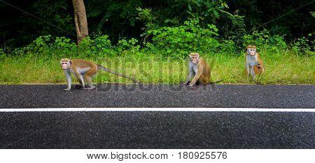 Animals. Wild monkeys of Sri Lanka on the roadside.