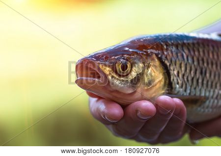 Chub fish close up . Beautiful fish caught in the river on summer.