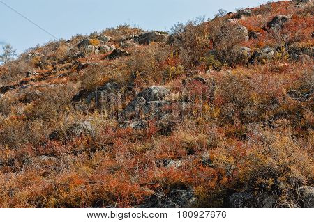 red brushes dwarfish birch against the background of the mountain in Altai