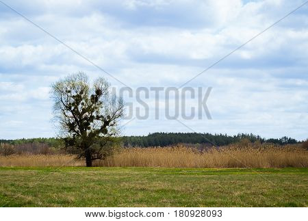 A lonely tree on a green meadow under a beautiful blue sky with clouds magnificent nature bright green grass yellow meadow flowers the wind oppresses reeds a dense pine forest