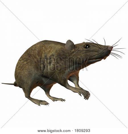 Rat Alert