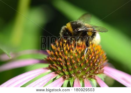 bumble bee flying to flower close up