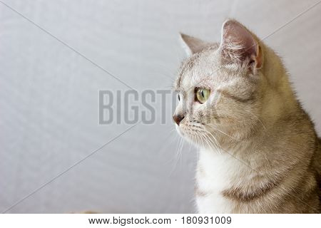 Portrait of grey britain cat looking to the left