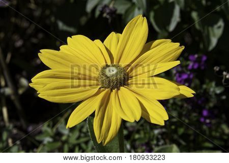 Close up of a vibrant yellow flower, named a Black Eyed Susan, on a sunny day in a park in Montreal, Quebec in late July.