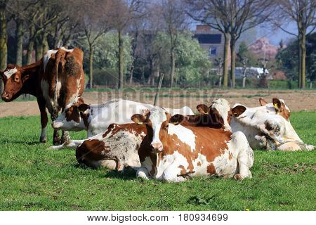 In the spring allowed the cows back the pasture