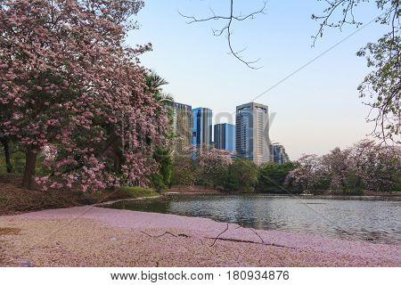 Pink flowers Tabebuia Rosea tree (also called Chompoo Pantip) in full blossom season at Rodfai Park Bangkok