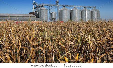 Five Silver Silos in Corn Field. Modern commercial grain or seed silos in rural landscape.