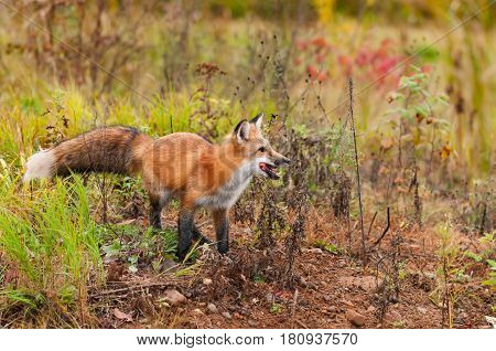Red Fox ( Vulpes vulpes) With Piece of Meat - captive animal