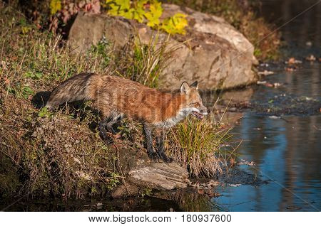 Red Fox (Vulpes vulpes) Looks Out at Water - captive animal