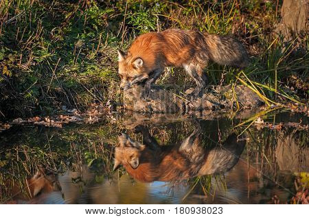 Red Fox (Vulpes vulpes) Steps with Reflection - captive animal
