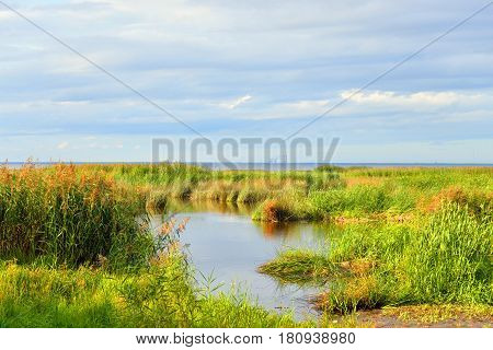 Coast of Gulf of Finland overgrown with sedge on sunny day Russia.