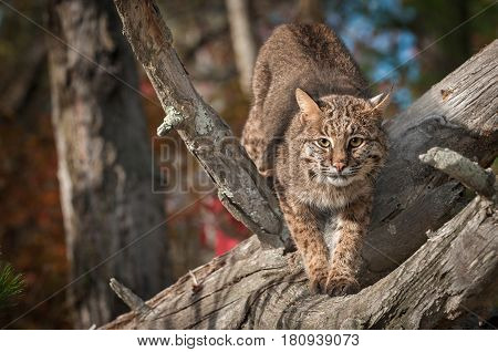 Bobcat (Lynx rufus) Stretches Out in Branches - captive animal