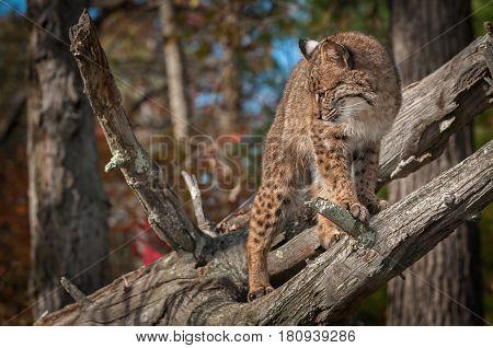 Bobcat (Lynx rufus) Turns Left Atop Branch - captive animal