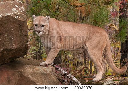 Adult Male Cougar (Puma concolor) Steps Up on Rock - captive animal