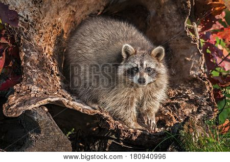 Raccoon (Procyon lotor) Looks Straight Out from Inside Log - captive animal