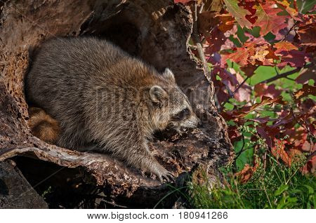 Raccoon (Procyon lotor) Looks Right and Cries - captive animal