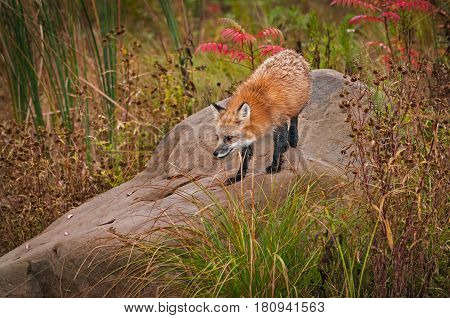 Red Fox ( Vulpes vulpes) Looks Down From Rock - captive animal