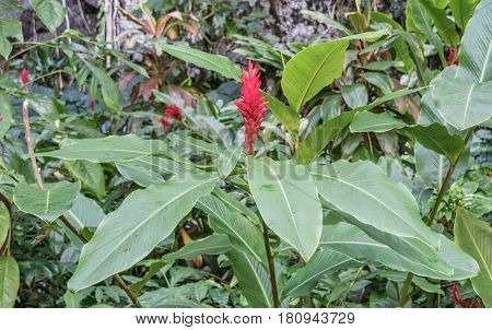 Ginger Flower: a close up of a ginger plant and ginger flower