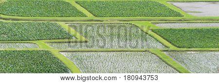 Taro Fields: An isolated image of Taro fields on Kauai