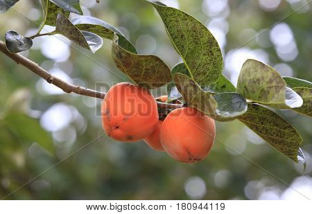 Persimmon tree with many persimmons in autumn