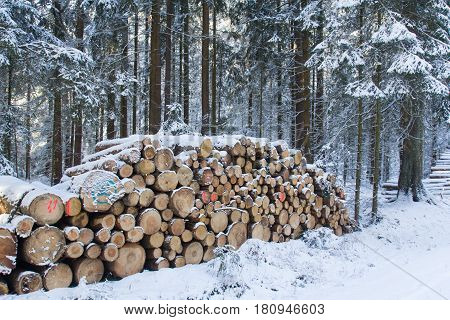cut and stacked pine timber in forest in winter waiting to be transported prepared for winter felled by the logging timber industry