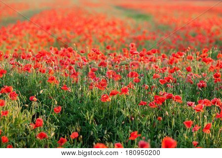 Nature, spring, blooming flowers concept - close-up of poppies over red flowers background in the spring field.
