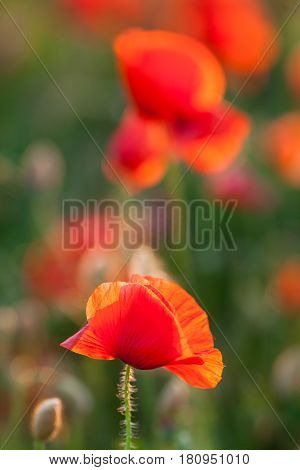 Nature, spring, blooming flowers concept - close-up of red poppies over green and red background vertical