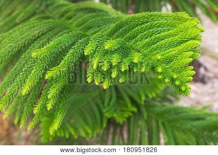 Norfolk Island Pine, Araucaria heterophylla, Araucaria excelsa, branch, Morocco