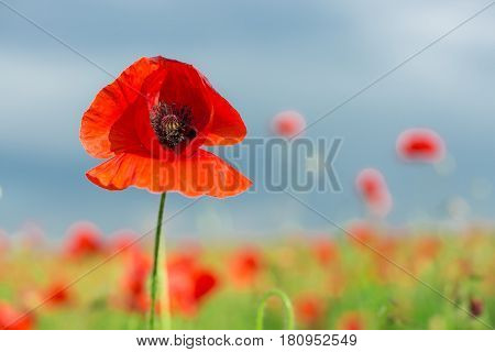 Nature, spring, blooming flowers concept - close-up on flowering poppy in the summer field, a sunny day with blue sky and clouds background.