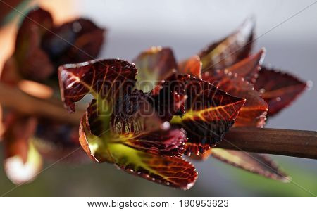 the picture shows hortensia bud in the spring