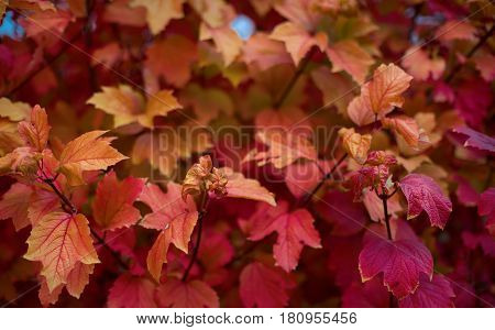 Autumn leaves of red color in nature close-up