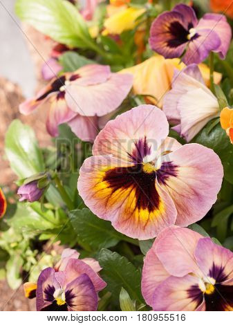 Some Pansies In A Plant Pot In The Spring