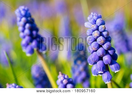 Armenian sapphire (muscari armeniacum) flowers closeup. Shallow depth of field.
