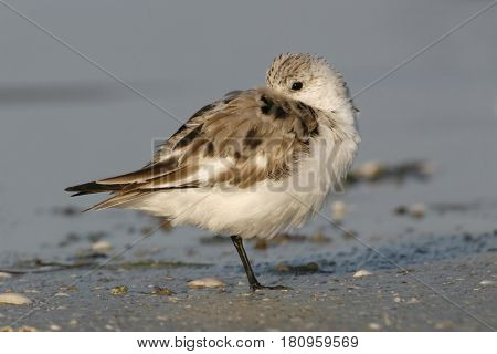 A Sanderling, Calidris alba in winter plumage resting on the beach in Florida in early spring