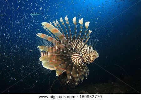 Lionfish fish underwater