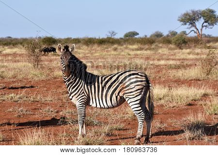 Picture of a Burchell`s zebra looking at the camera,Madikwe game reserve, South Africa.