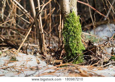Fluffy green moss on tree trunk in winter