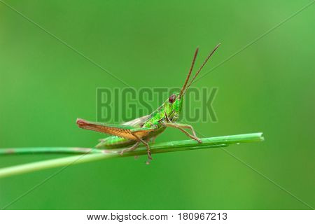 Green grasshopper on the blade of grass on a blurred green background