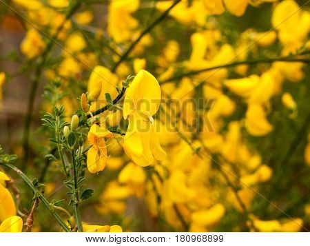 The Lovely Golden Yellow Of A Gorse Plant In Spring Light
