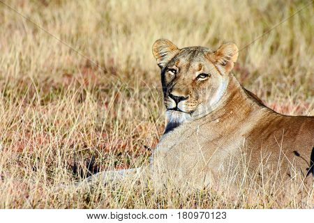 Picture of a lioness looking at the camera, Madikwe game reserve, South Africa.