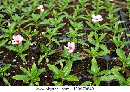 Seedlings of decorative flowers Periwinkle (Lat.- Vínca) in pots