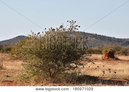 Picture of a flock of red-billed queleas in an acacia tree in South Africa.