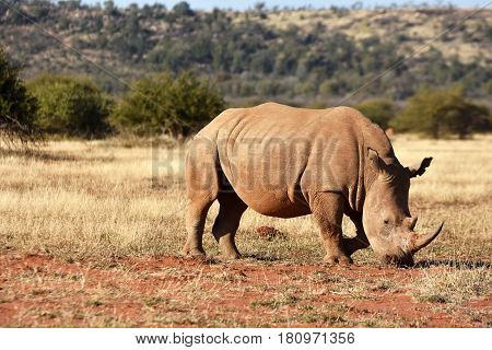 Picture of a white rhino grazing in Madikwe game reserve,South Africa.