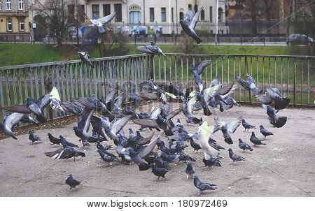 A flying flock of pigeons wildlife gray pigeons day blue