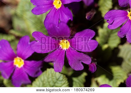Flower of the garden primrose Primula pruhoniciana