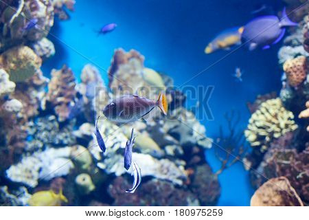 Sargassum Triggerfish swimming