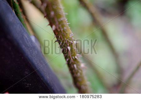 Wild Rose Thorns winter thorny flower stem
